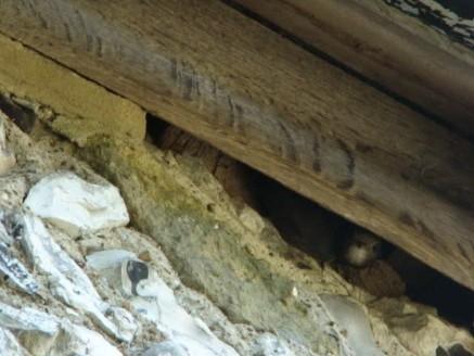 Swift in nest
