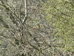 Redstart - Kithurst Hill