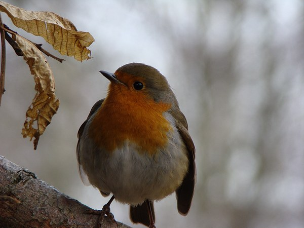 Robin at Burton Mill Pond