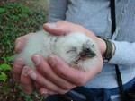 Tawny owl chick - Offham