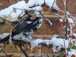Semi-albino Blackbird