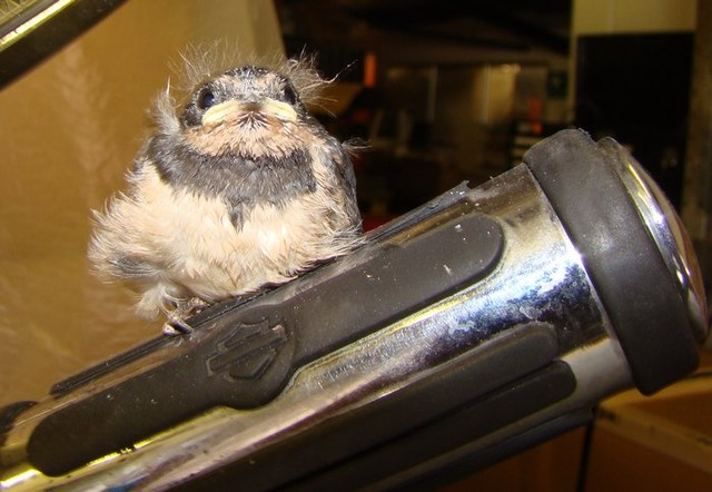 Harley the swallow chick