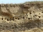 Sand Martin colony & chicks - IOM