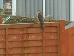Female Sparrowhawk in our garden