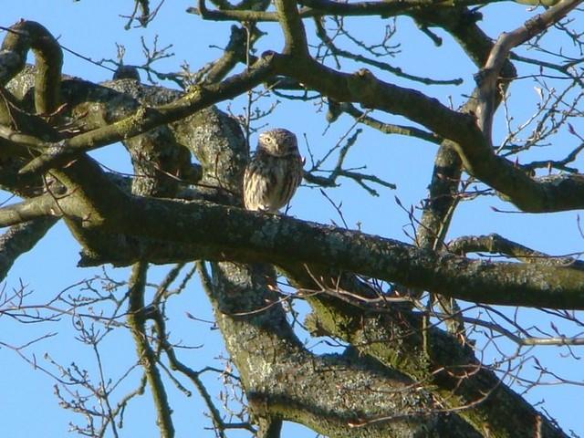 Little Owl. Burton Park