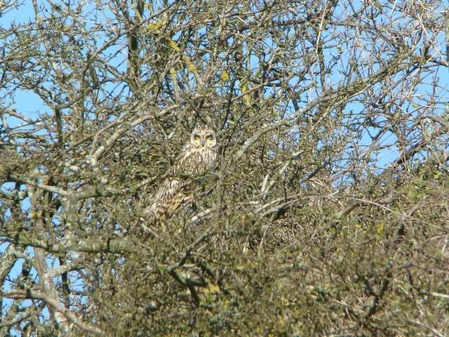 Short eared Owl - The Burgh