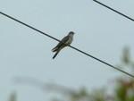 Cuckoo. Thorney Island, May 2011.