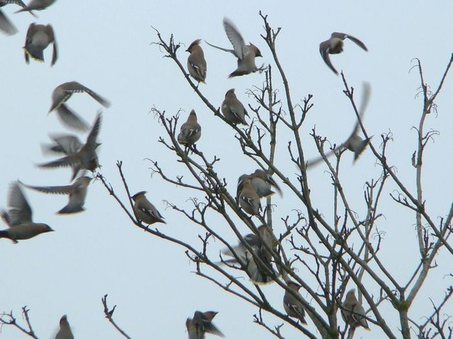 Waxwings. Southgate shops, Crawley