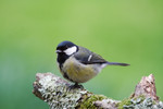 Great tit by Paul