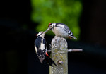 Male Greater spotted woodpecker feeding a chick -  Paul