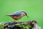 Nuthatch by Paul