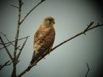 kestrel at Pulborough brooks
