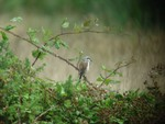 Red Backed Shrike. Waltham Brooks.