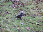 Melanistic Blackbird