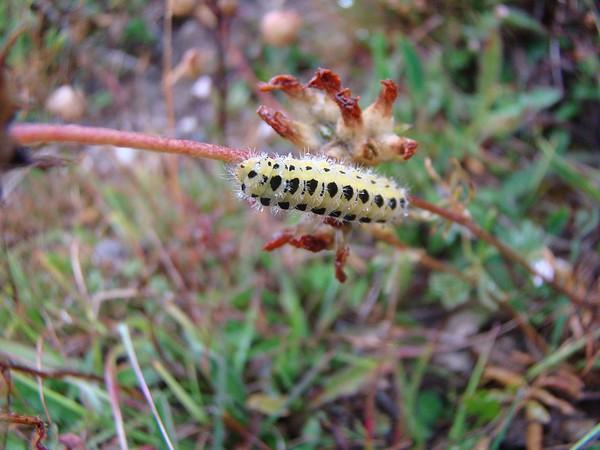 Five Spot Burnet caterpillar