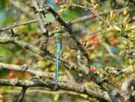 Emperor Dragonfly (m)