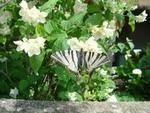 Swallowtail. Bach, France.
