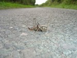 Grey Bush Cricket