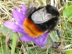 Red-Bottomed Bumblebee