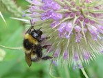 White-Bottomed Bumblebee