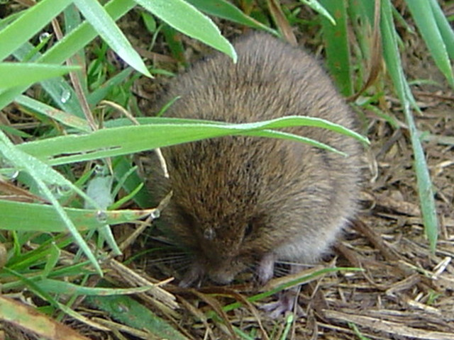Bank vole, Cornwall