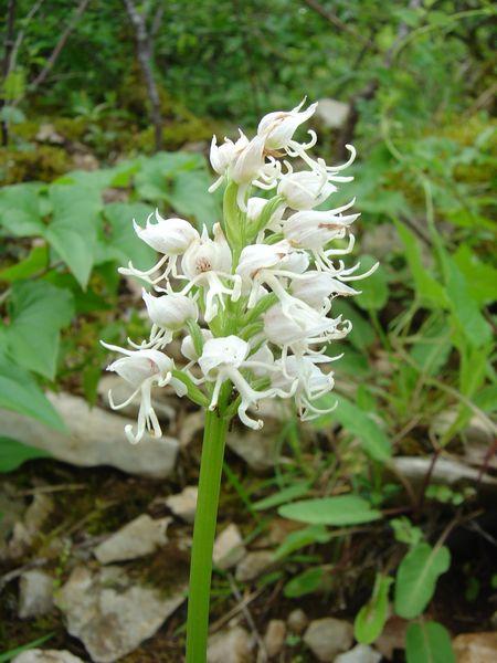 Man orchid (Orchis anthropophorum)