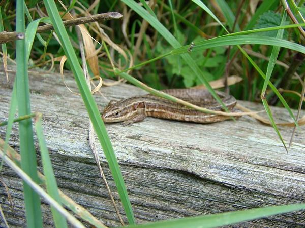 Common lizard - Pulborough Brooks - 03/09/08