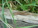 Common lizard - Pulborough Brooks - 03/09/08