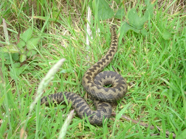 Adder in motion