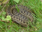 Adder - Pulborough brooks