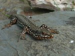 Friendly lizard in the Pyrenees.