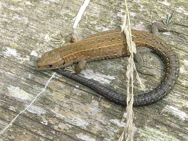 common lizard found at Pulborough Brooks.